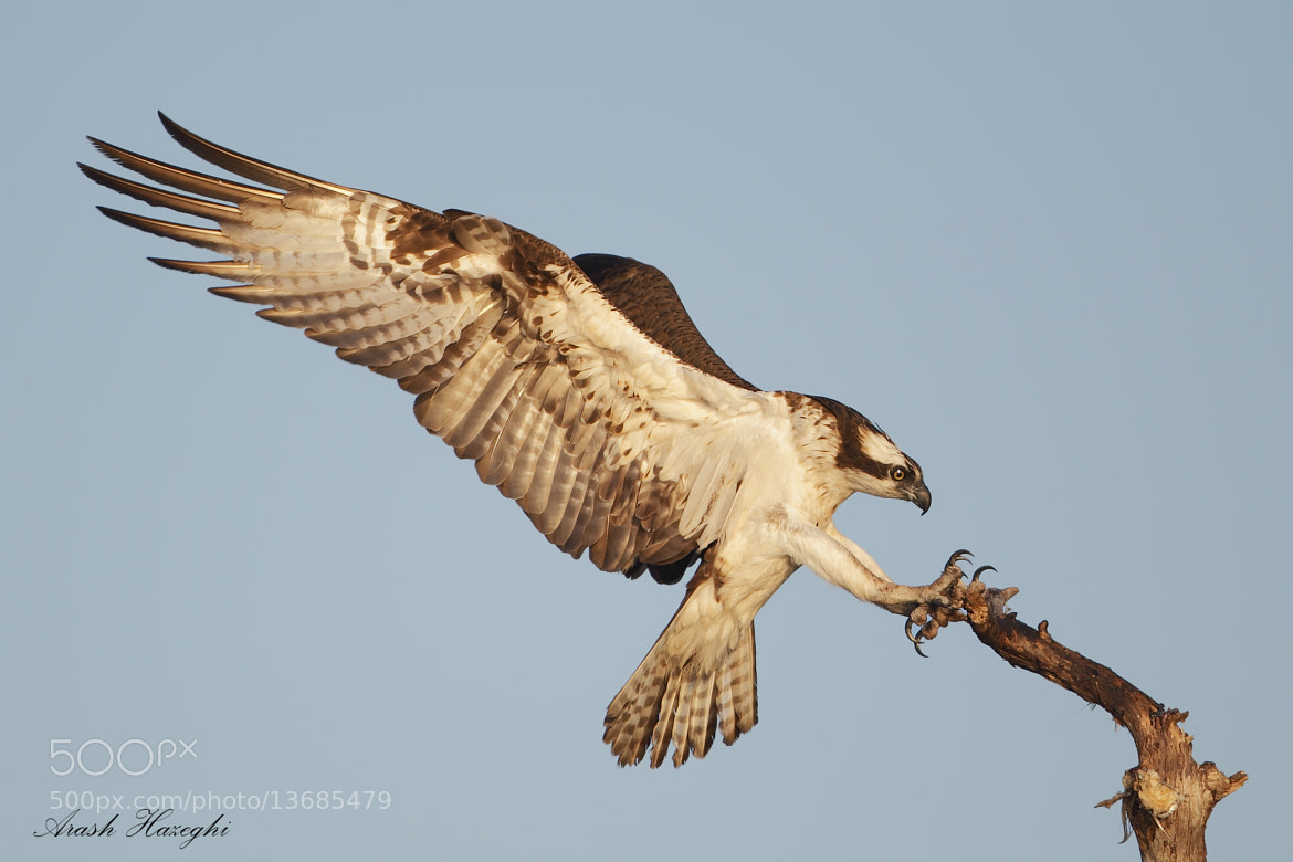 Photograph Landing of the osprey by Ari Hazeghi on 500px