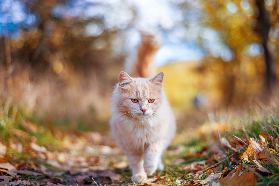 500px.comのGrigor Ivanovさんによるbeautiful cat walking in autumn
