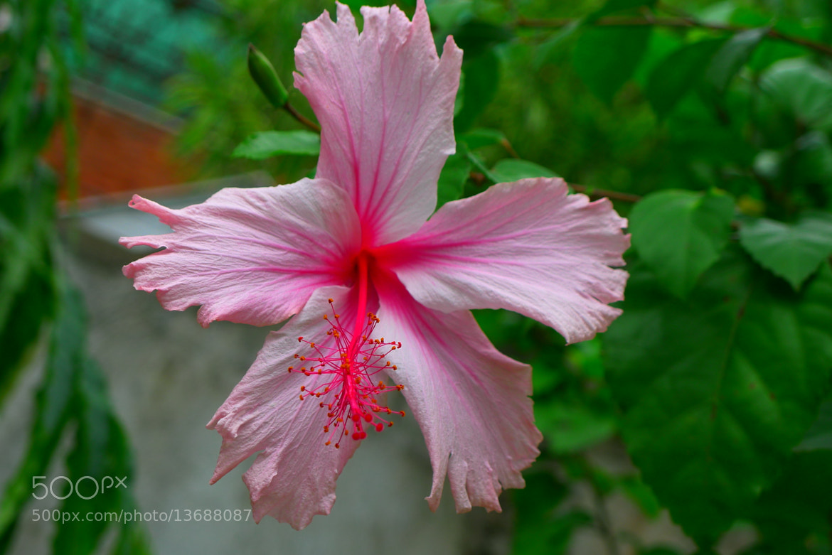 Photograph Pink Rosemallow by Christian Vincent Literatus on 500px
