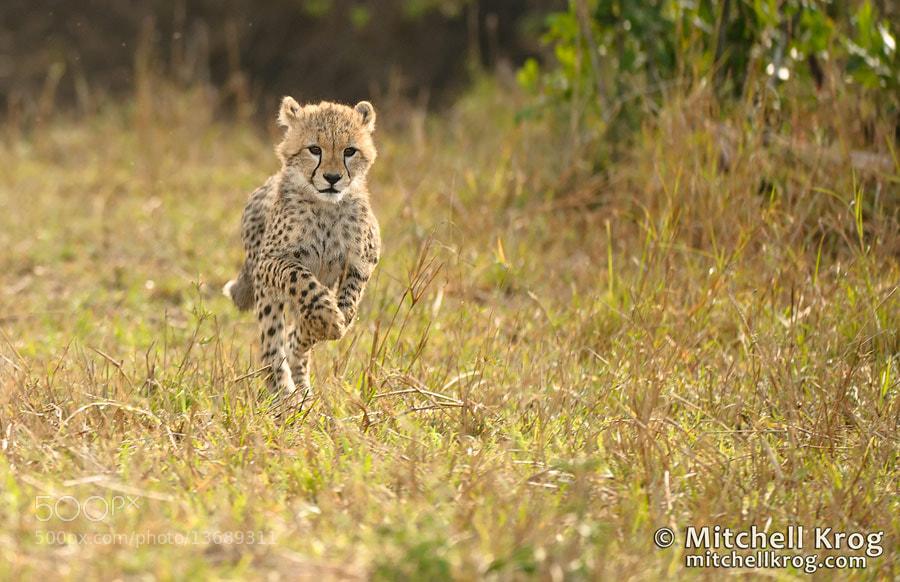 Photograph Cheetah Cub Playtime - Maasai Mara, Kenya by Mitchell Krog on 500px