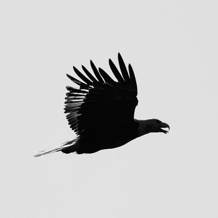 Silhouetted Bald Eagle
