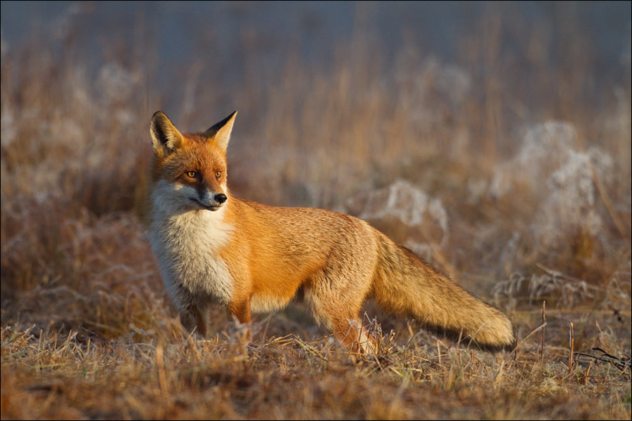 Photograph Fox in Indian Summer by Marcin Perkowski on 500px