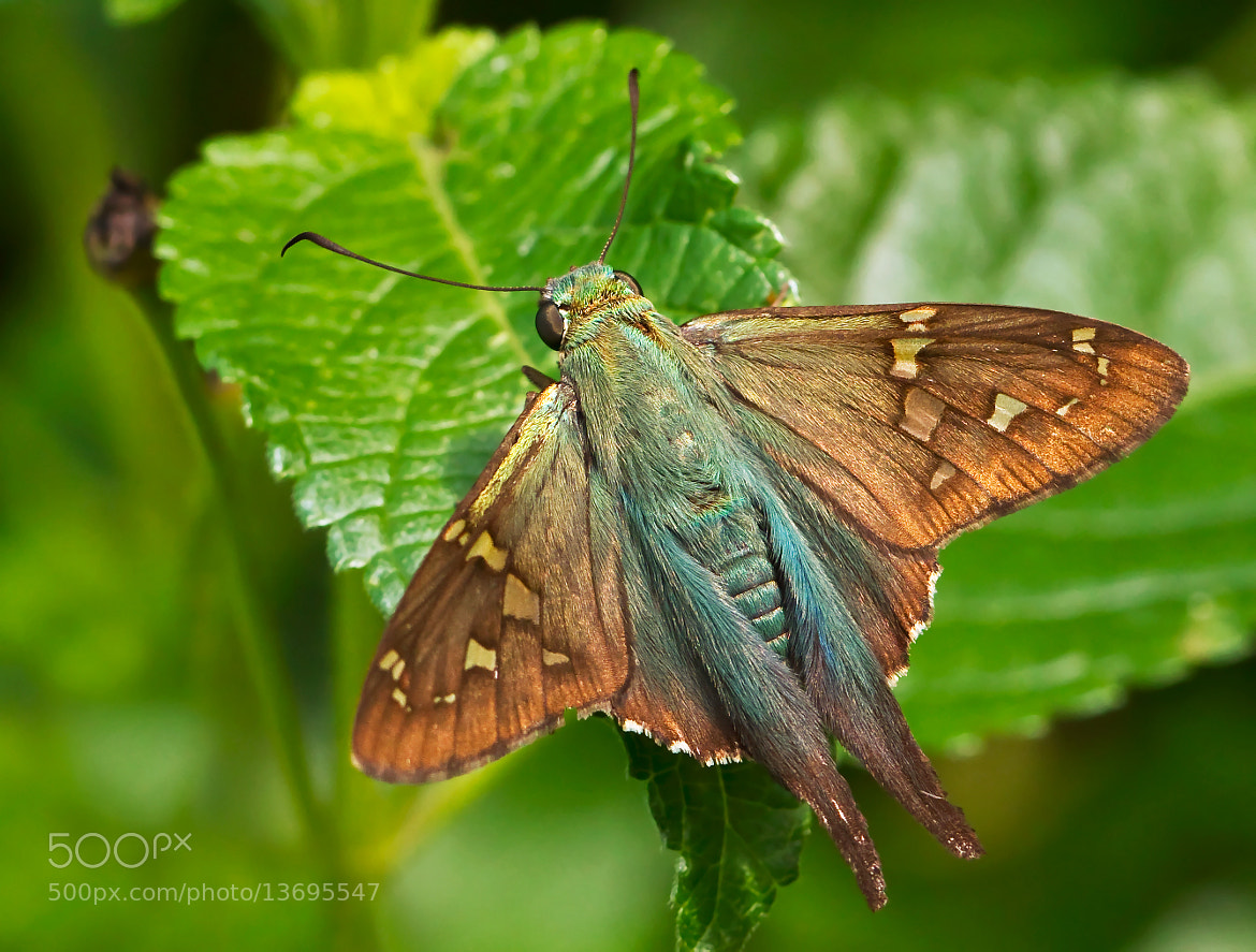 Photograph Long-Tailed Skipper by Lorraine Hudgins on 500px
