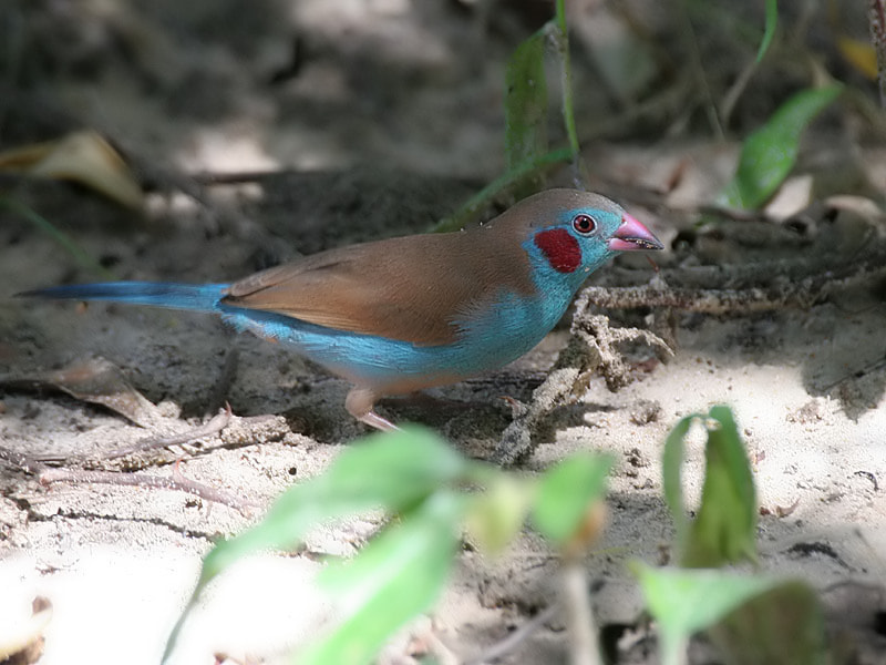 Photograph Red-cheeked Cordon-blue  by Aat Bender on 500px