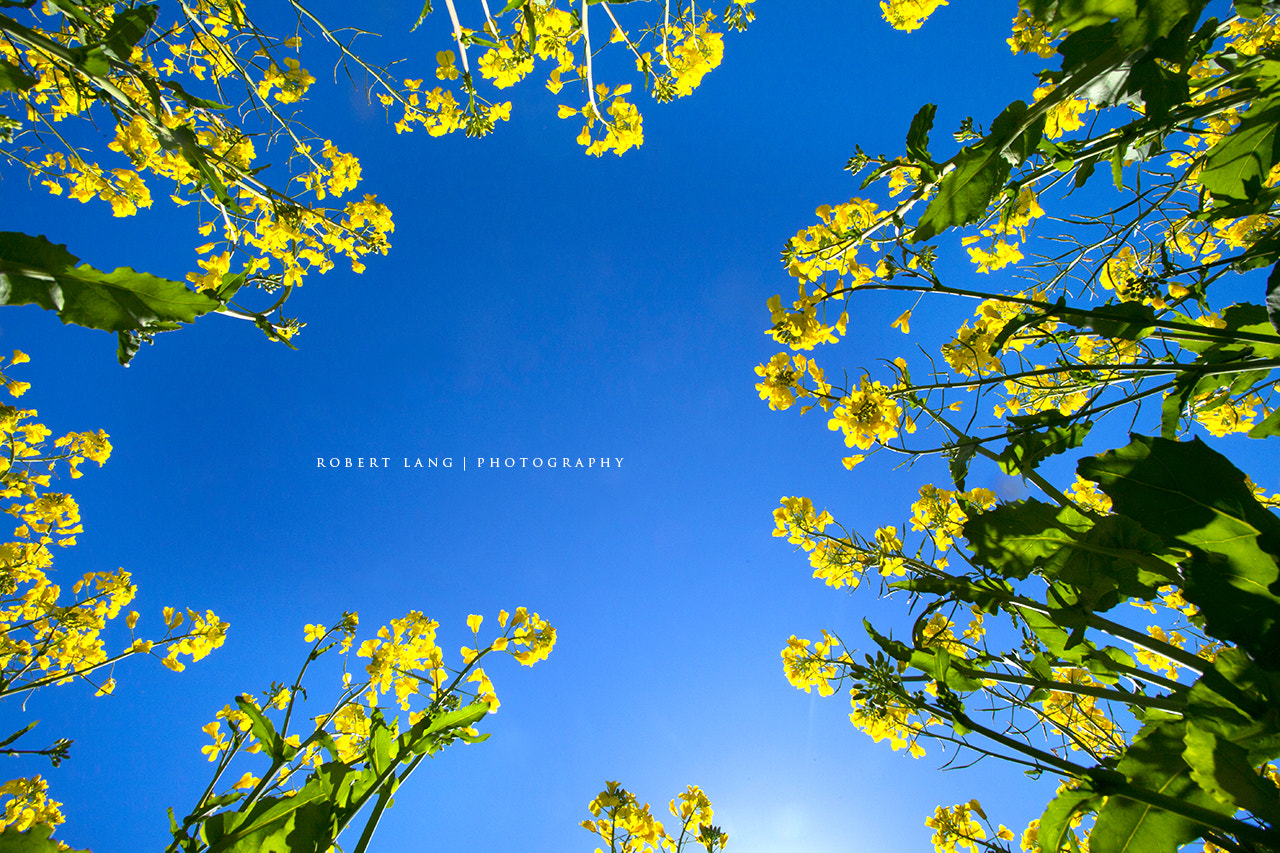 Photograph Canola flowers with blue sky background, Australia by Robert Lang on 500px
