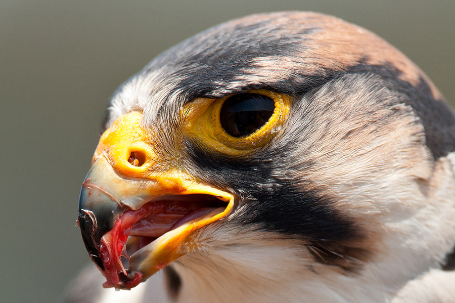 Photograph Lanner Falcon by Robbie Aspeling on 500px