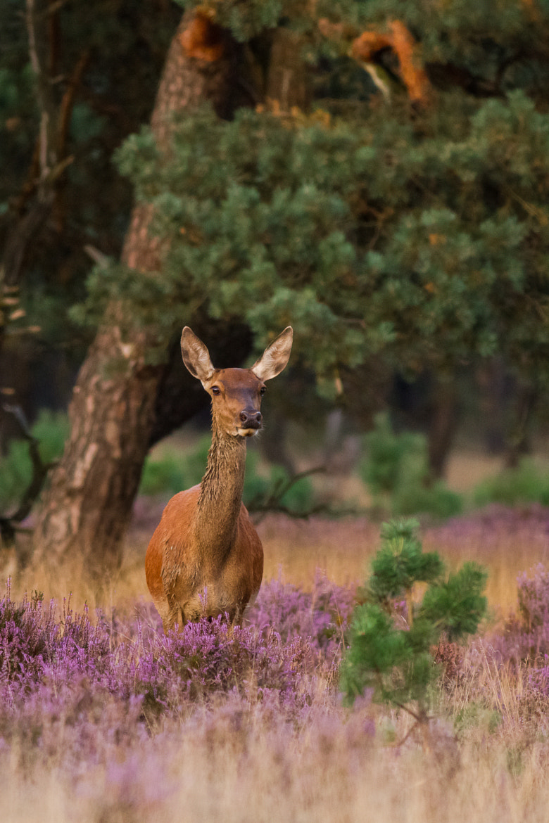 Photograph Red deer by Freek Wijffels on 500px