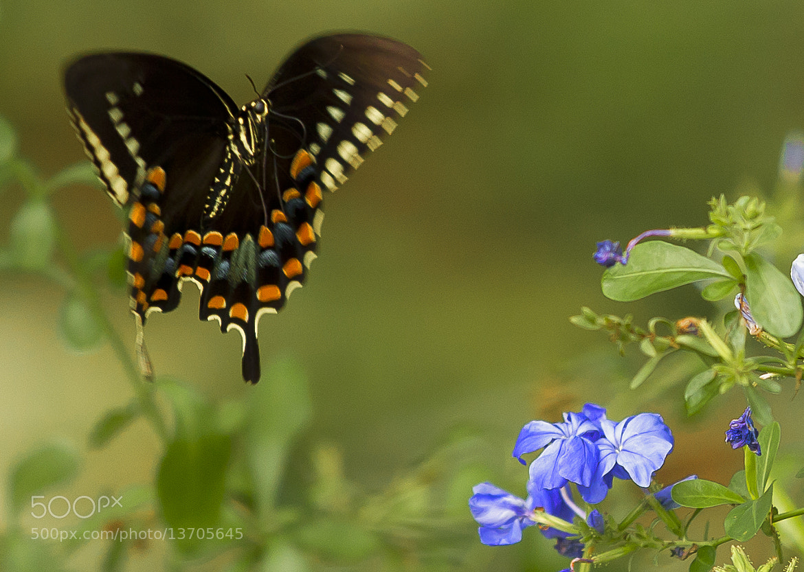 Photograph Butterfly by Edwin Madera on 500px