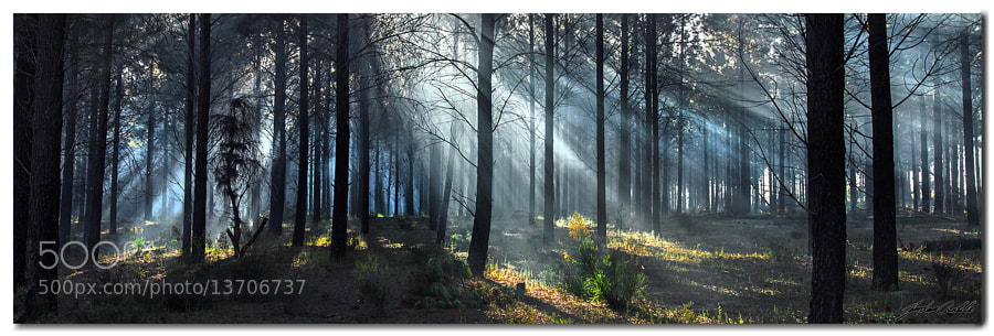 The suns rays cut through the pine plantation to end another day.  After seeing this scene over and over, I am glad I was able to finally capture it. Right place, right time.