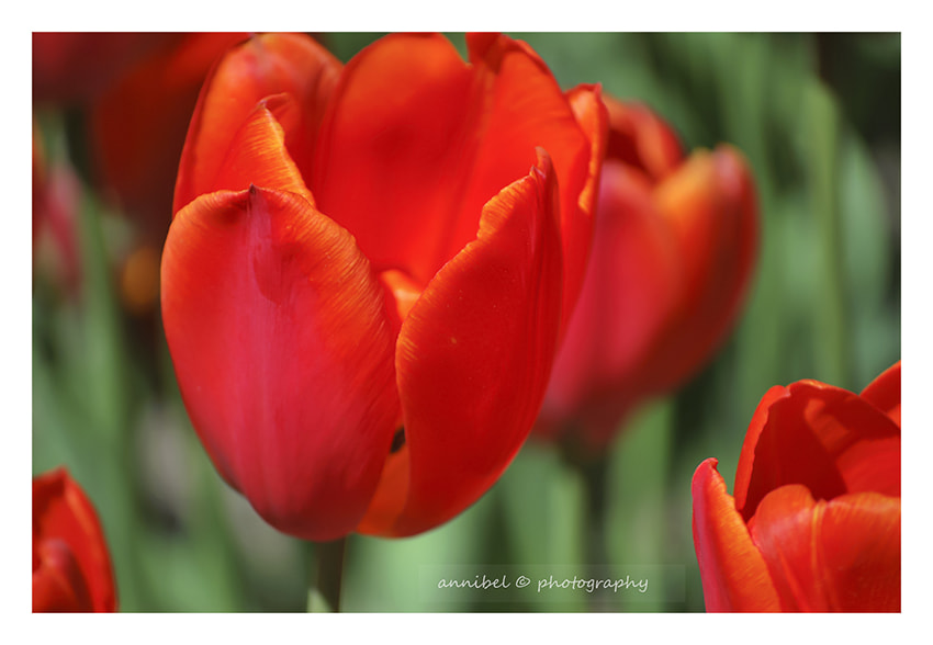 Photograph Tulipes... by annibel  photography on 500px