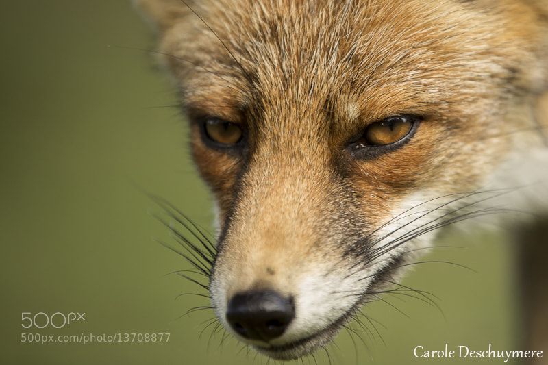 Photograph Fox by Deschuymere Carole on 500px