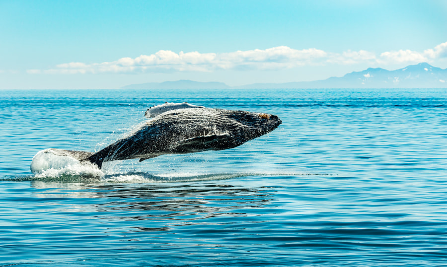 Humpback Whale Having Some Fun by Ian Stotesbury on 500px.com
