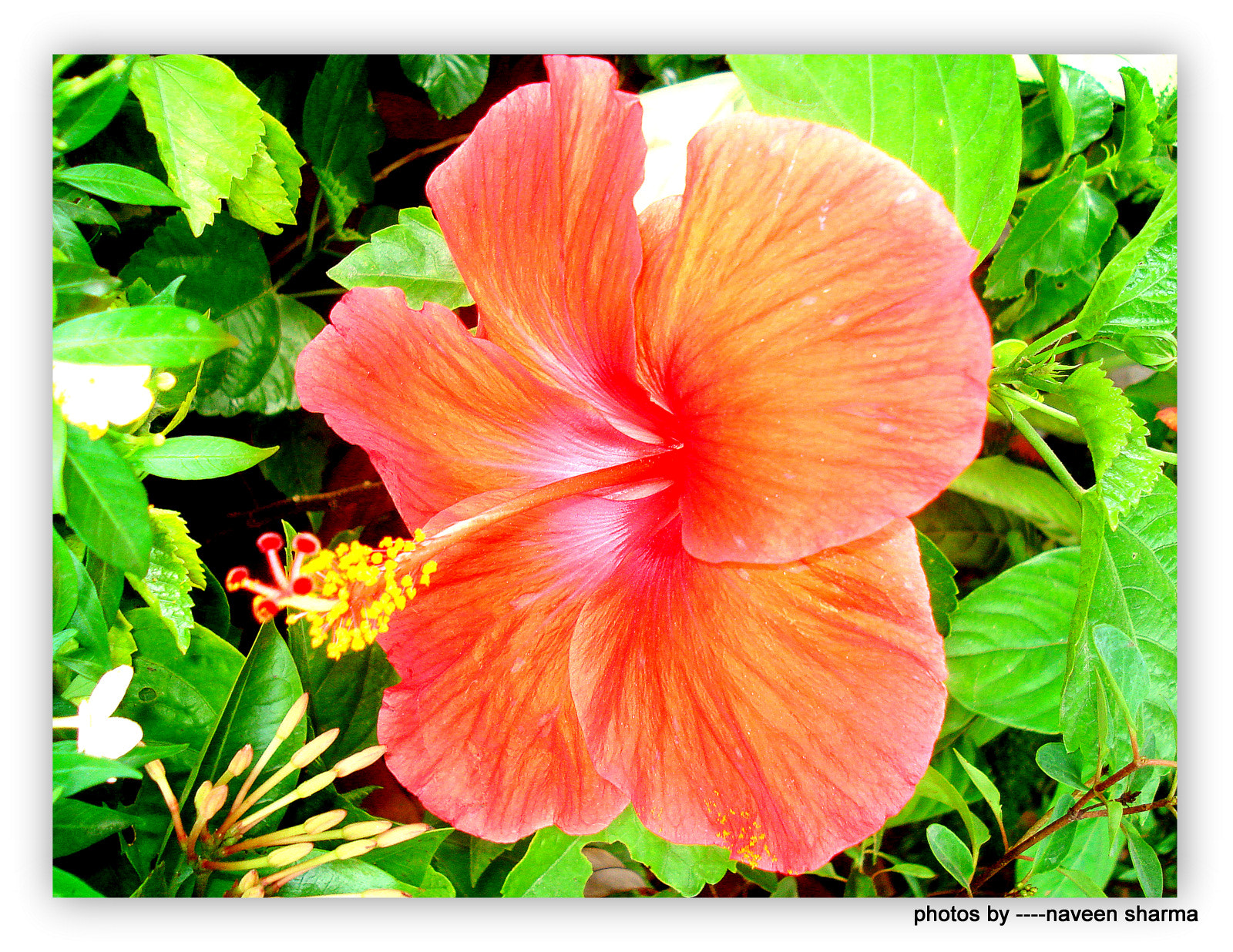 Photograph HIBISCUS by naveen sharma on 500px
