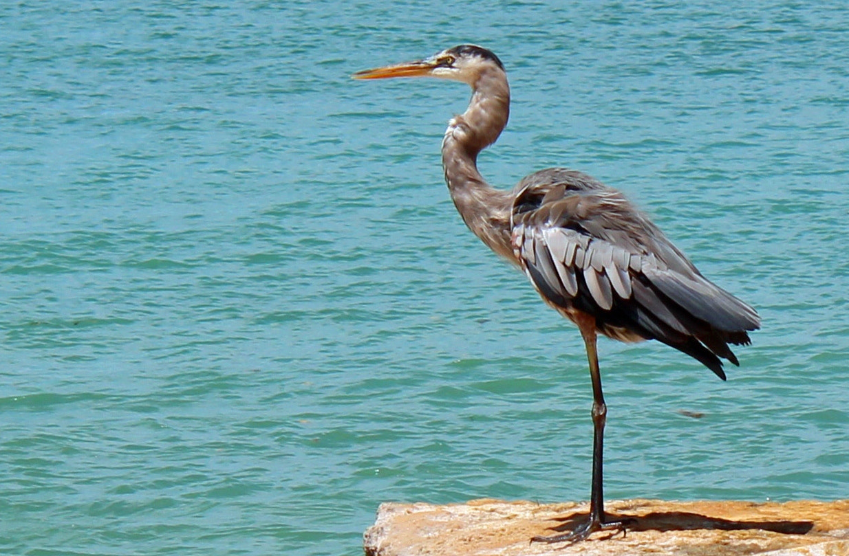 Photograph BLUE WATERS AND BLUE HERON by robin ulery on 500px