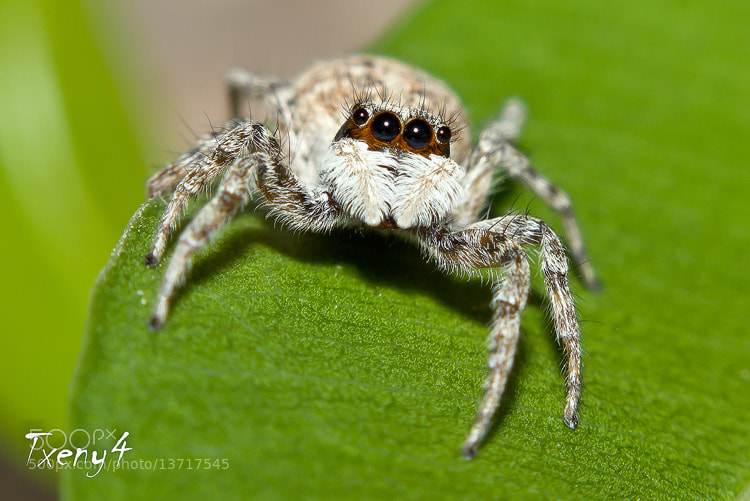 Photograph Jumping Spider by Alfonso Béjar on 500px