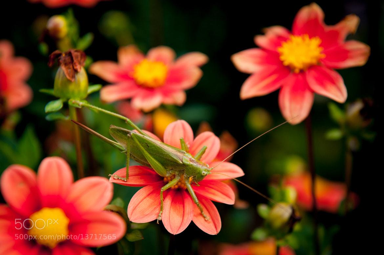 Photograph Grasshopper by Hubert Mical on 500px