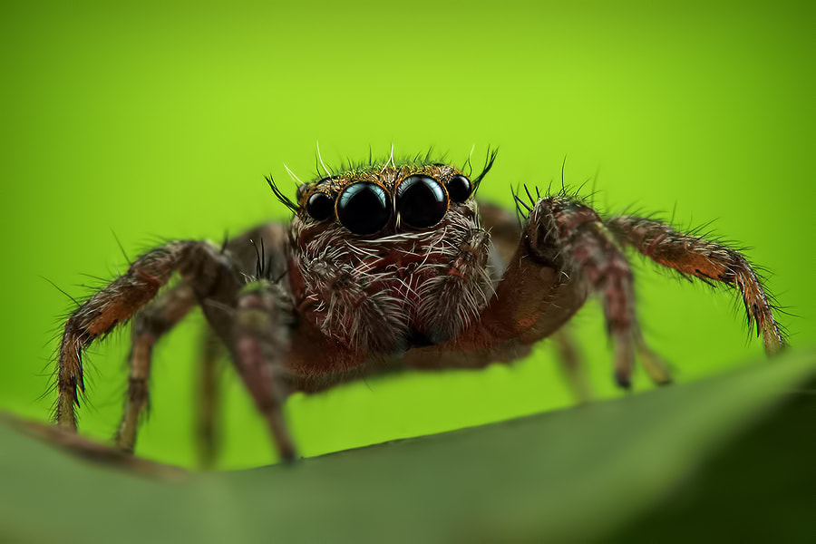 Photograph Jumping Spider by Robin Lung on 500px