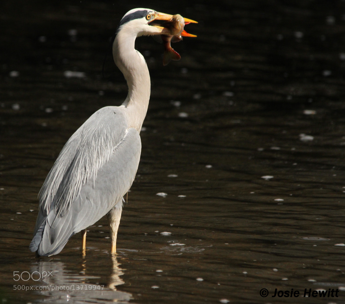 Photograph Grey Heron by Josie Hewitt on 500px