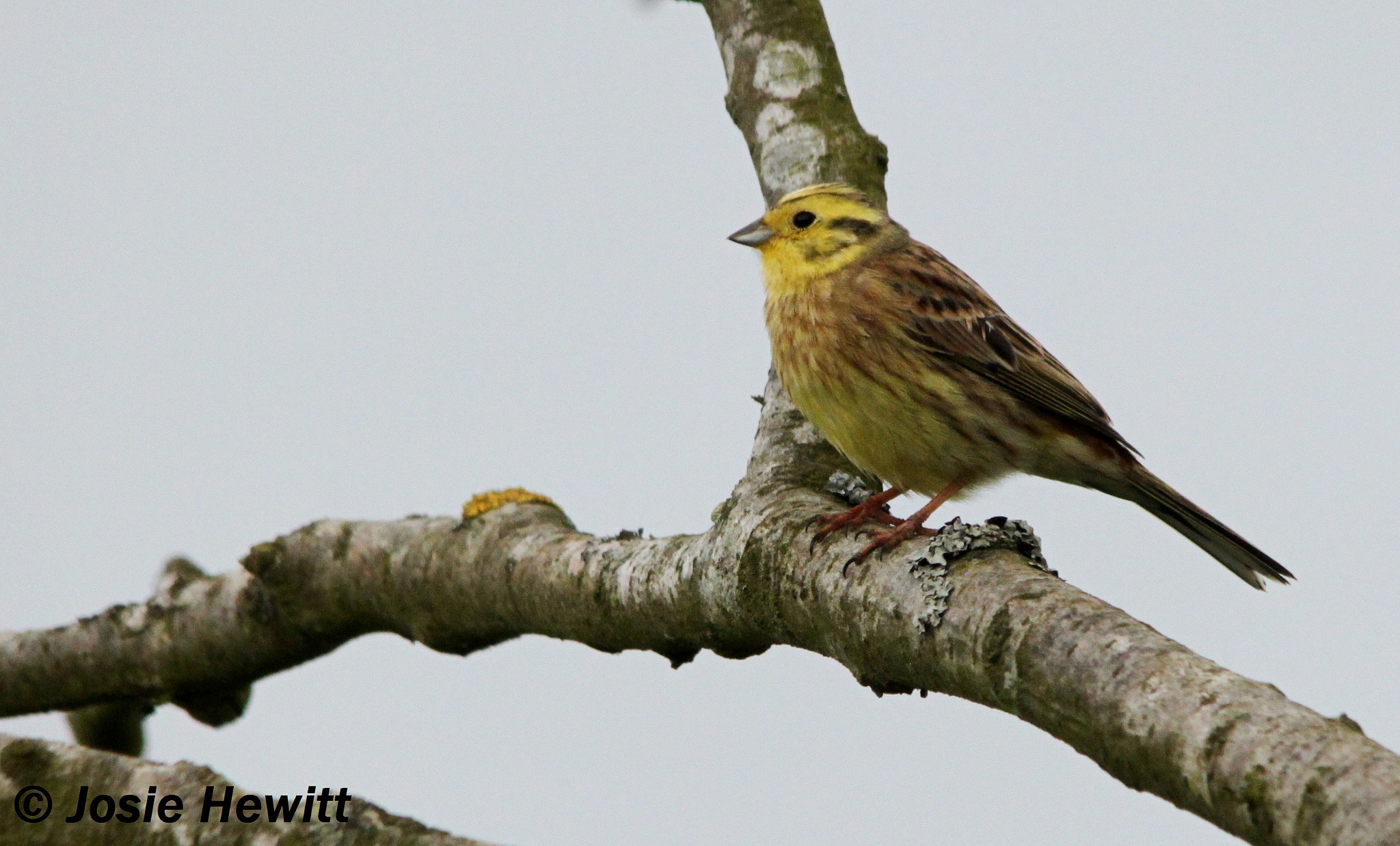 Photograph Yellowhammer by Josie Hewitt on 500px