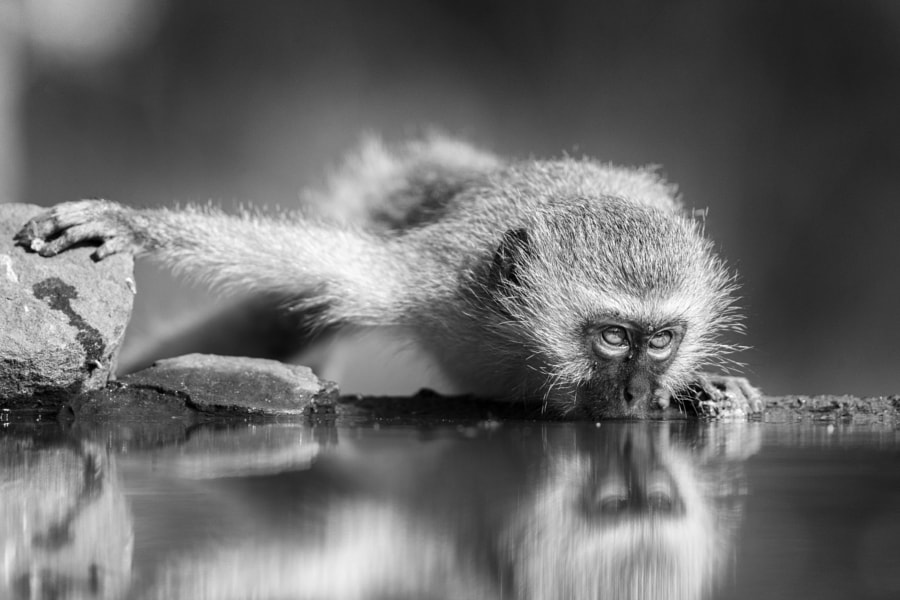 Monochrome Vervet by Jaco Marx on 500px.com