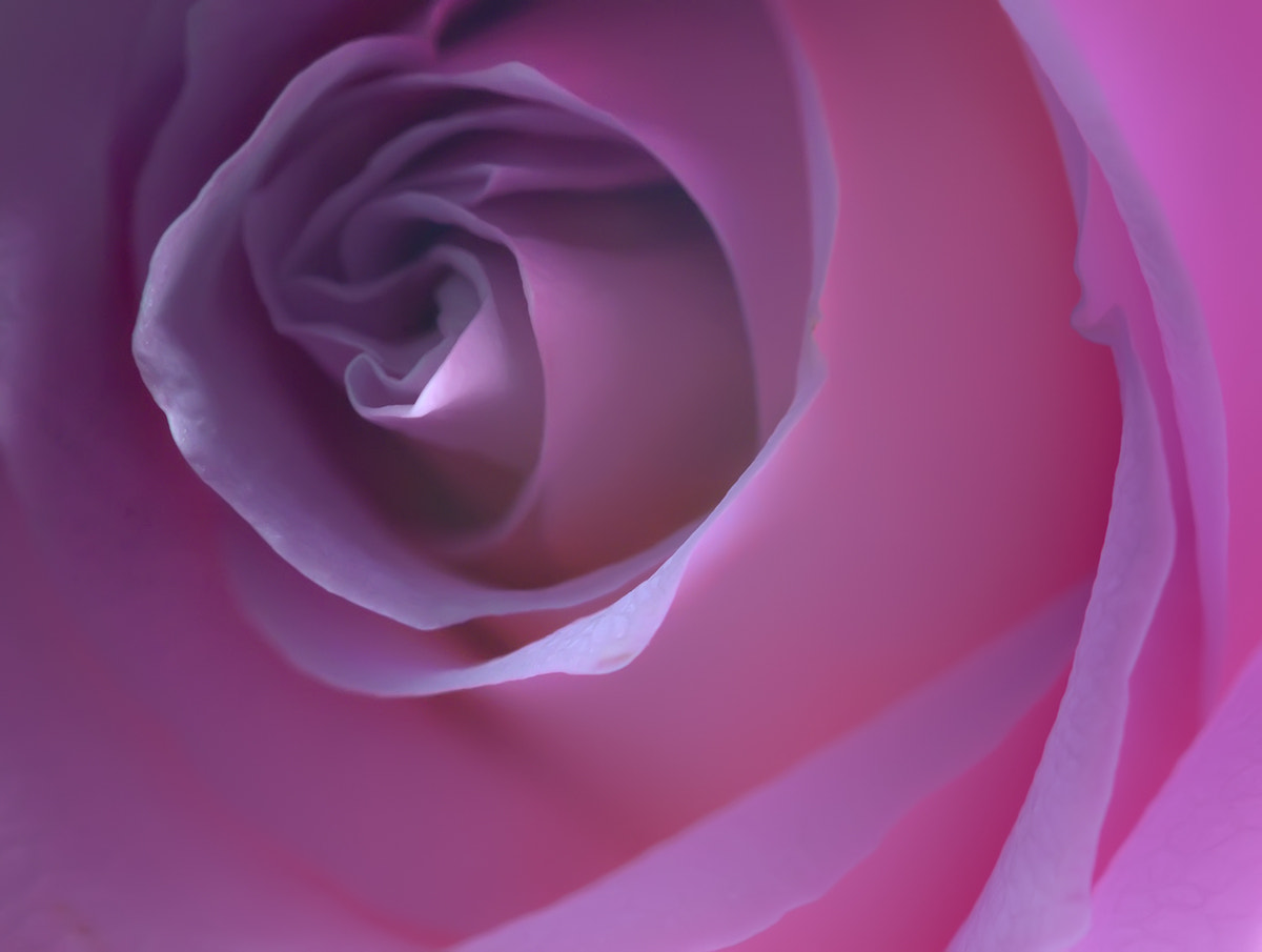 Photograph Purple rose by Alessandro Zocchi on 500px