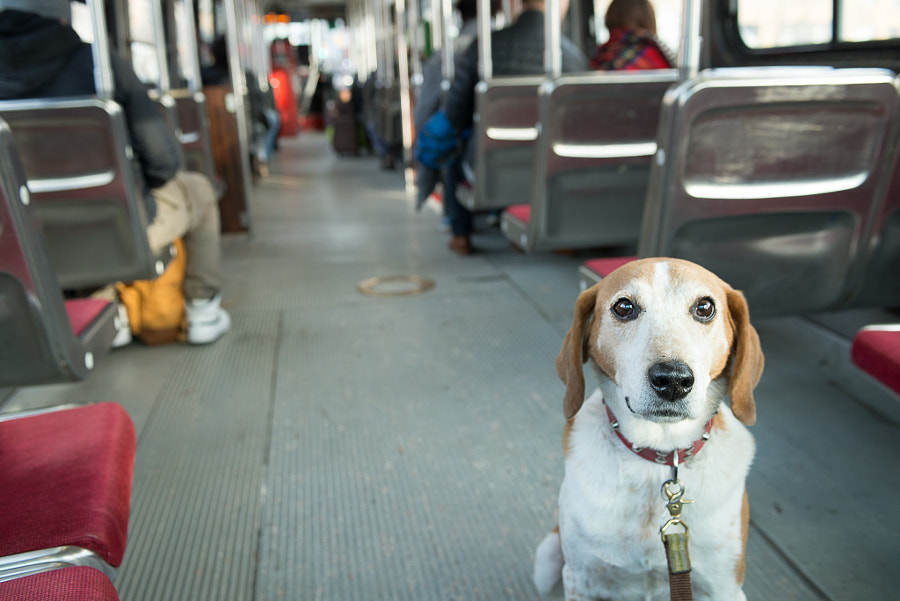 Toby riding a streetcar in Toronto by Alejandro Santiago on 500px.com