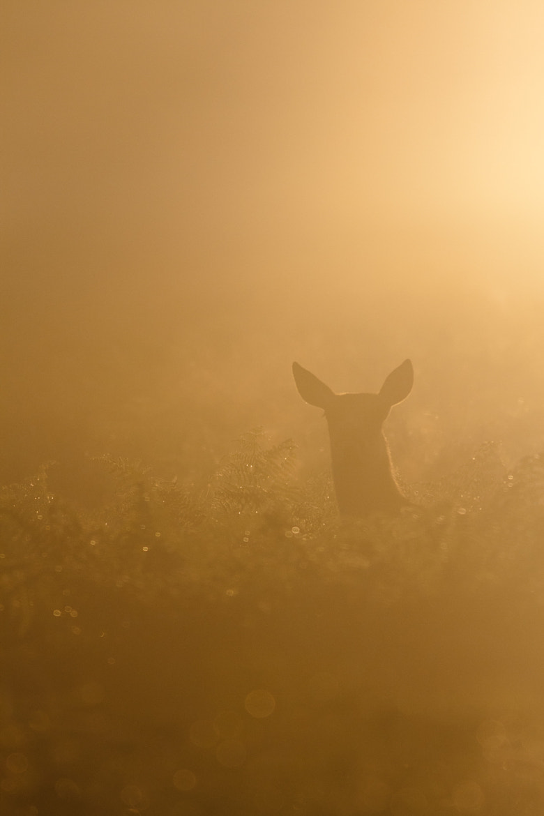 Photograph Misty Deer by Max Brown on 500px