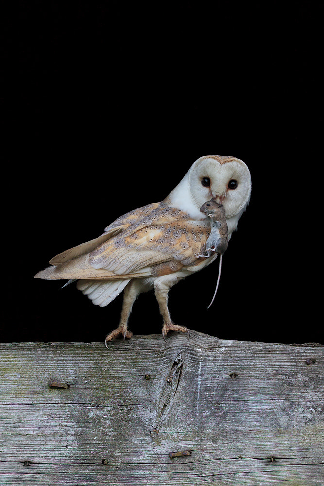 Photograph Barn Owl with Woodmouse by Dale Sutton on 500px