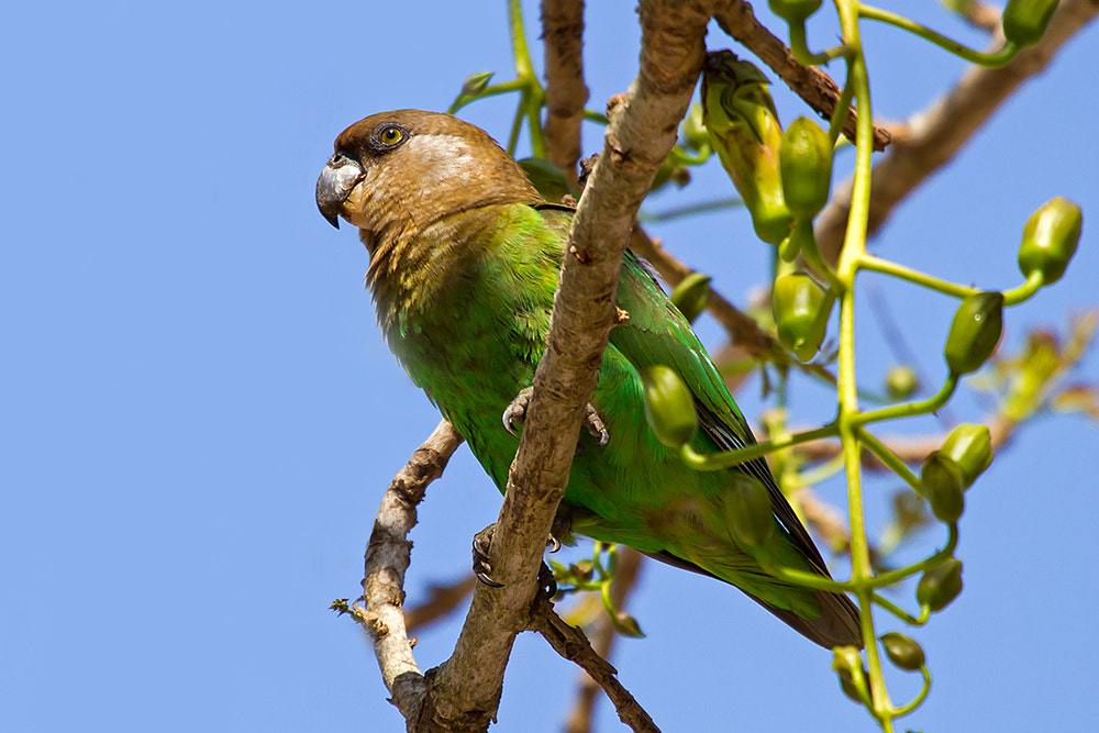 Photograph Brown-headed Parrot by Viju Jose on 500px