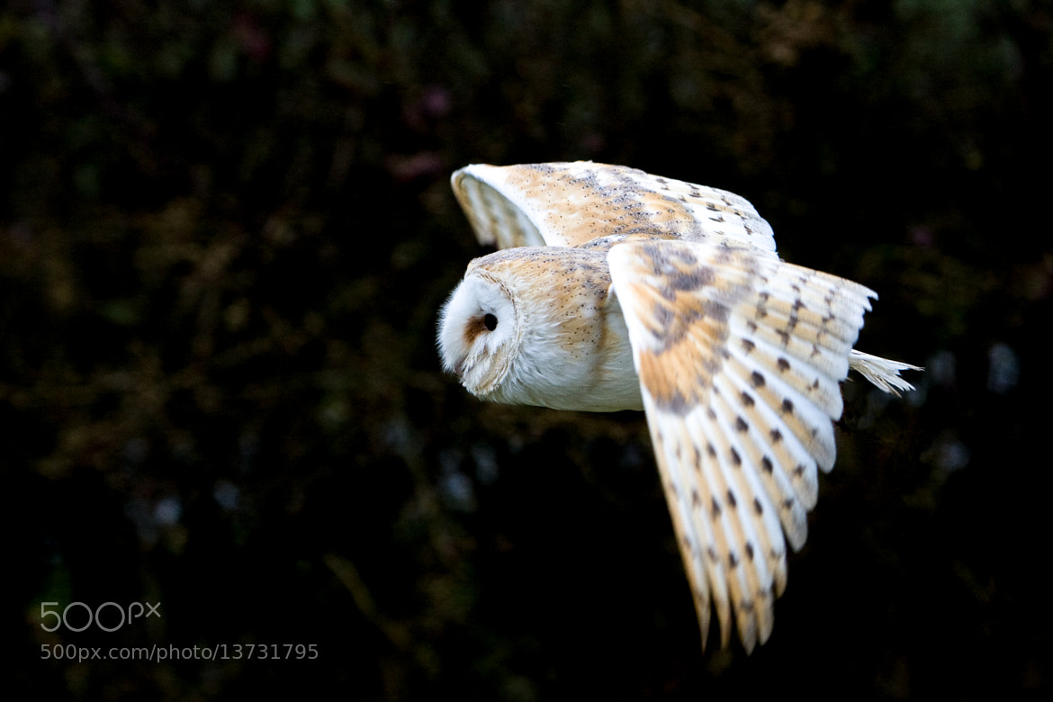 Photograph Barn Owl by Brian Scott on 500px