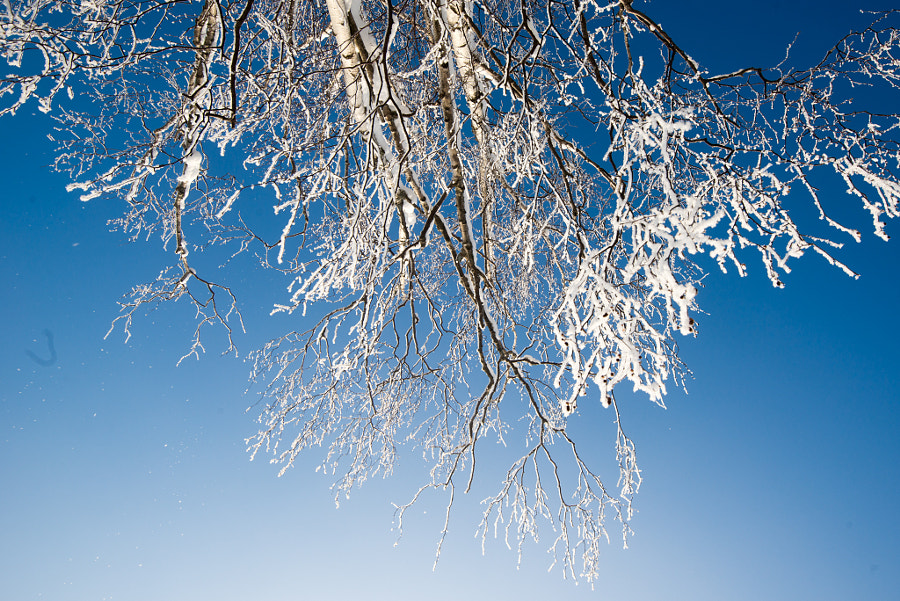 Birch tree with snow