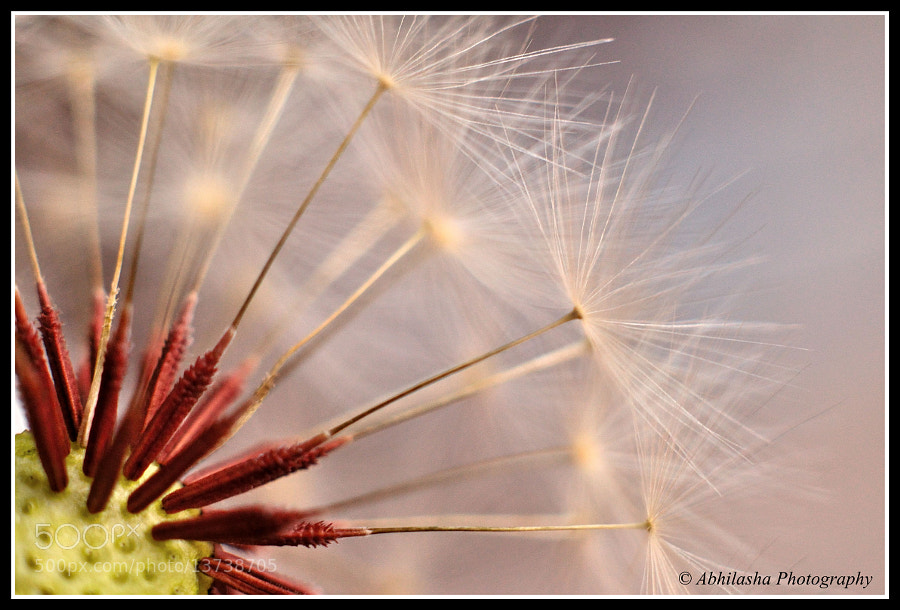 Dandelion macro by Abhilasha Mishra (abhilm)) on 500px.com