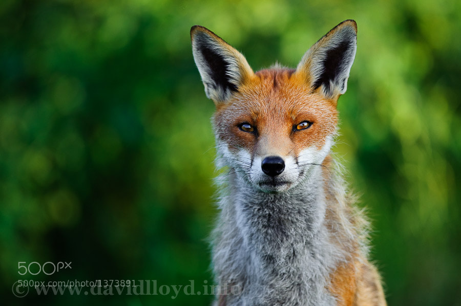 Photograph Sly Fox by David Lloyd on 500px
