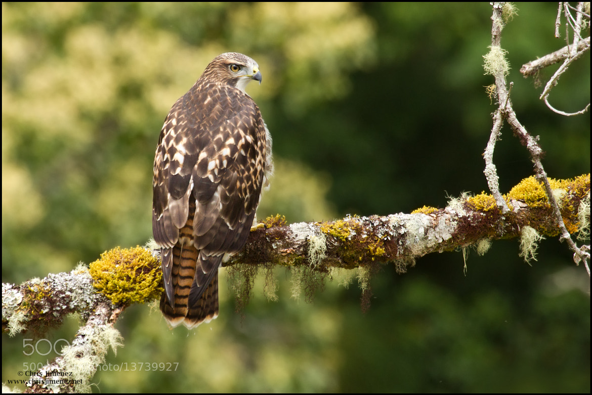 Photograph Red-Tailed Hawk  by Chris Jimenez on 500px