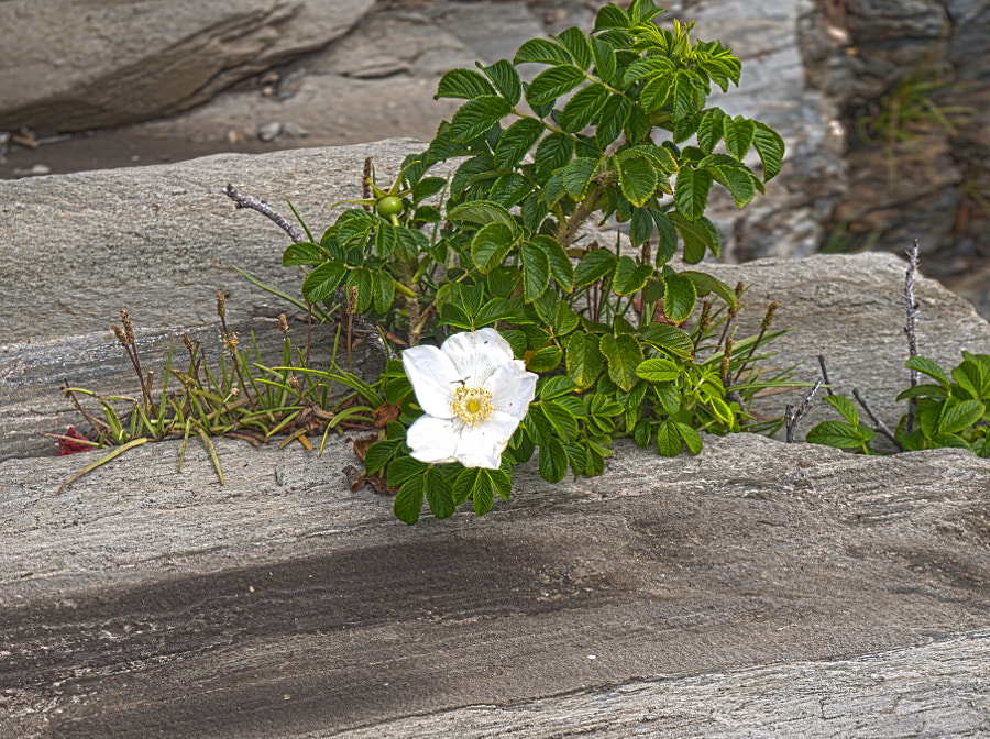 Rosa rugosa by John Poltrack on 500px.com