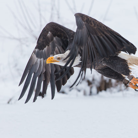Seeadler im Winter