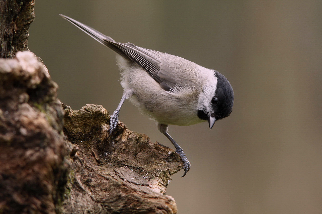 Photograph Marsh Tit by pieterbj van den berg on 500px