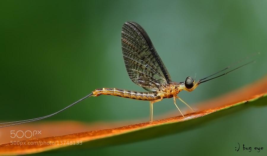 Photograph ~ mayfly ~ by bug eye :) on 500px