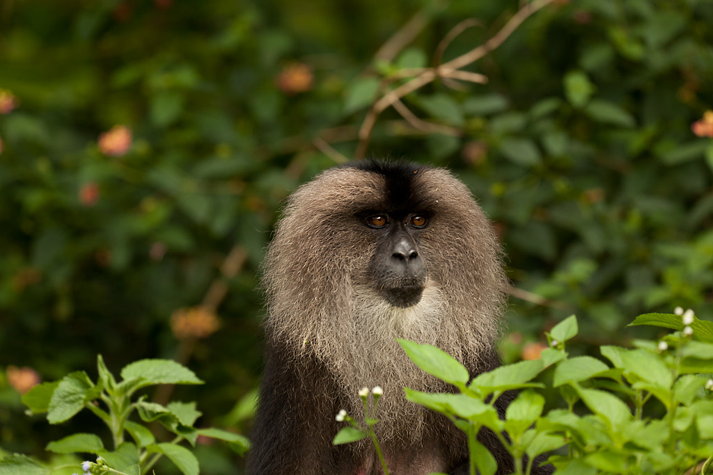 Photograph Lion Tailed Macaque  by Rohit Varma on 500px