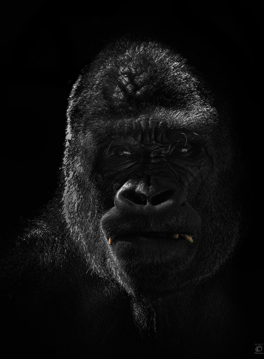 Photograph Gorilla Portrait by Christian Meermann on 500px