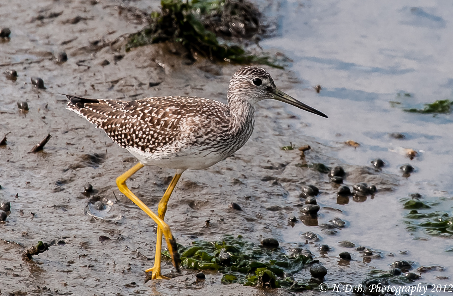 Photograph Lesser Yellowlegs by Harold Begun on 500px