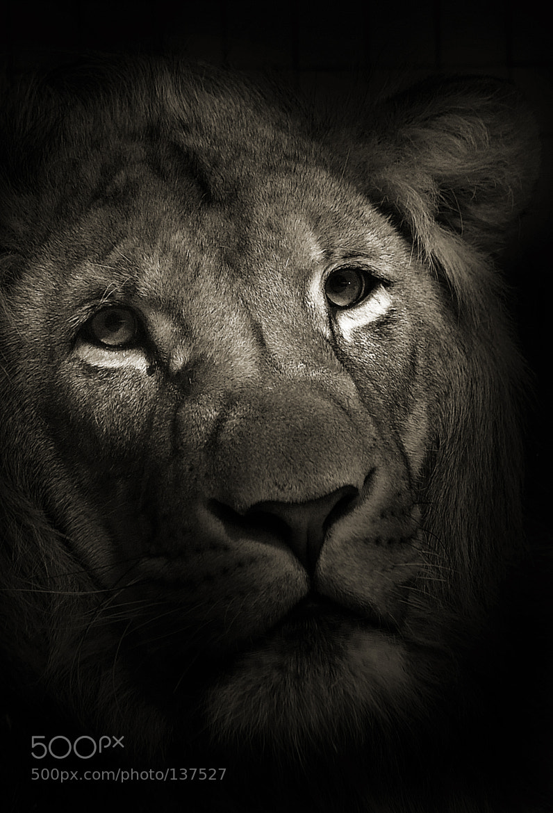 Photograph The Lion by Juergen Buergin on 500px