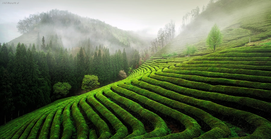 Green Tea Field by Jaewoon U on 500px.com