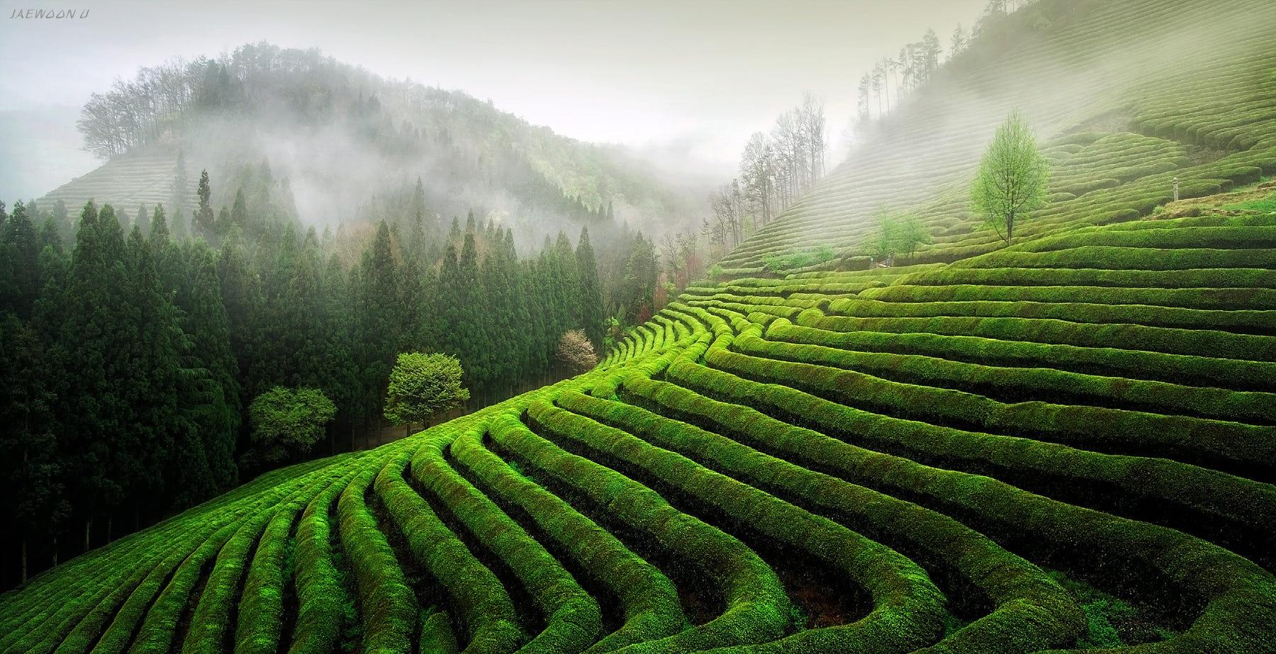 Green Day 2000 Green Tea Field by Jae...