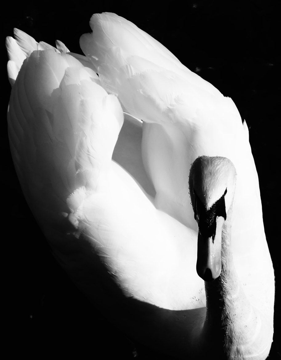 Photograph Swan by mrbaozi on 500px