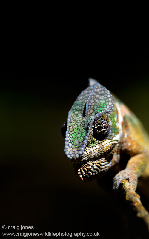 Photograph Panther Chameleon by Craig Jones on 500px