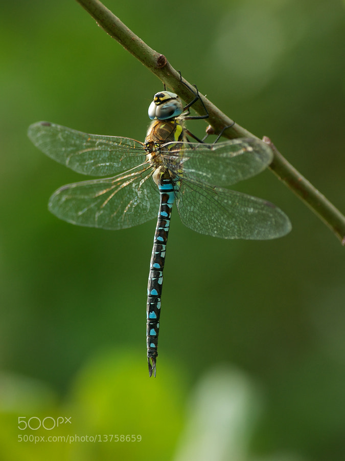 Photograph Migrant Hawker by Erik Veldkamp on 500px