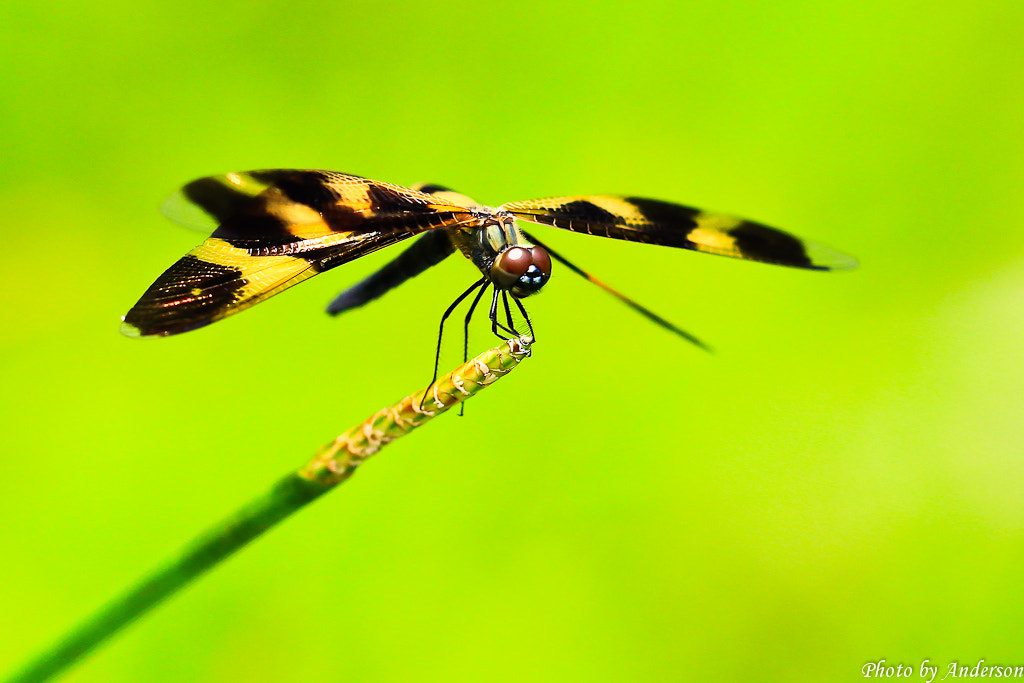 Photograph Rhyothemis variegata arria by Anderson Han on 500px