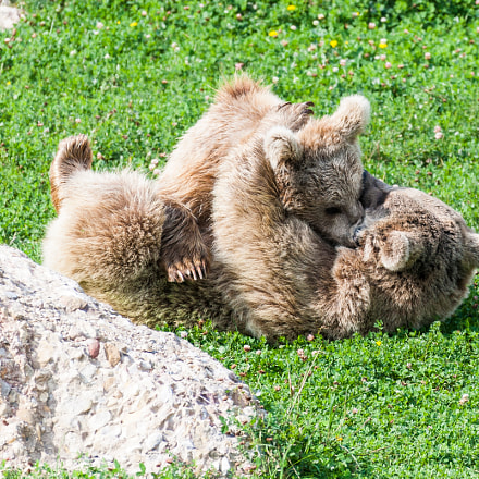 Bear_cubs, Canon EOS-1D MARK III, Canon EF 28-300mm f/3.5-5.6L IS