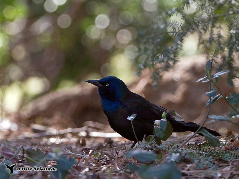 Photograph Common Grackle by Christian Meer on 500px